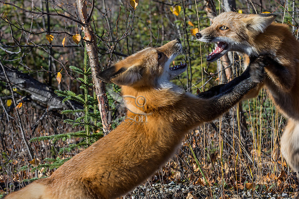 Two Red Foxes (Vulpes vulpes) showing aggressive behavior (maybe territorial dispute) near the Yukon/British Columbia border.  Sept.