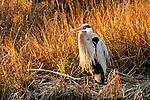 Heron resting in the Back Bay.