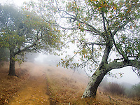 Path through autumn hills with Oaks -Foggy November morning on Cherry Hill, Novato