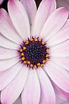 La Jolla, California; African Daisies, Osteospermum hybrid, white and pink