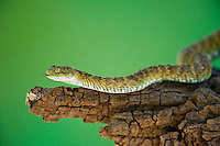 489040015 a captive broadleys bush viper atheris broadleyi sits coiled on a tree limb species is native to africa
