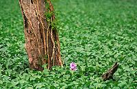 759990022 tree and flower in field of watercress plants in atchafalaya basin louisiana