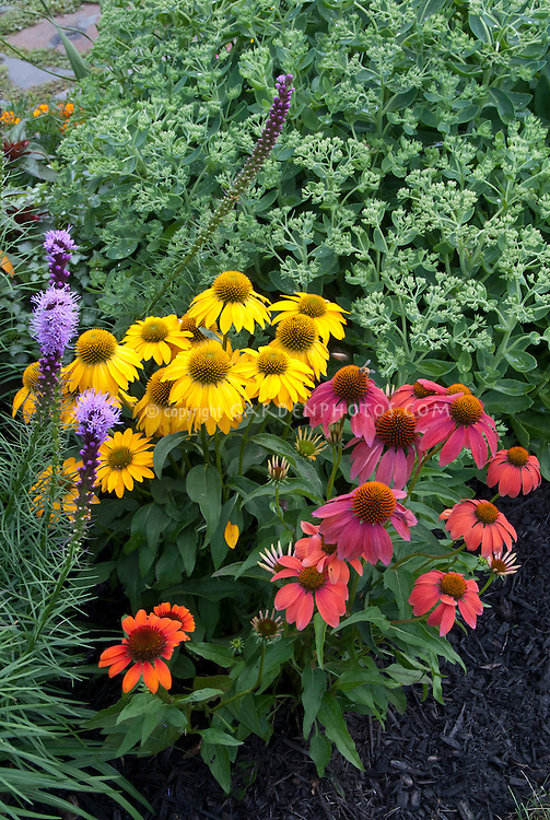 Many colors of Echinacea purpurea purple coneflower in new colors, mixture of varieties, yellow gold, magenta, orange, sunset colors, bright and vivid, with Liatris and Sedum, black mulch, perennial combination of plants in garden
