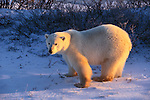 Polar bear stands in the first light of day, Canada.