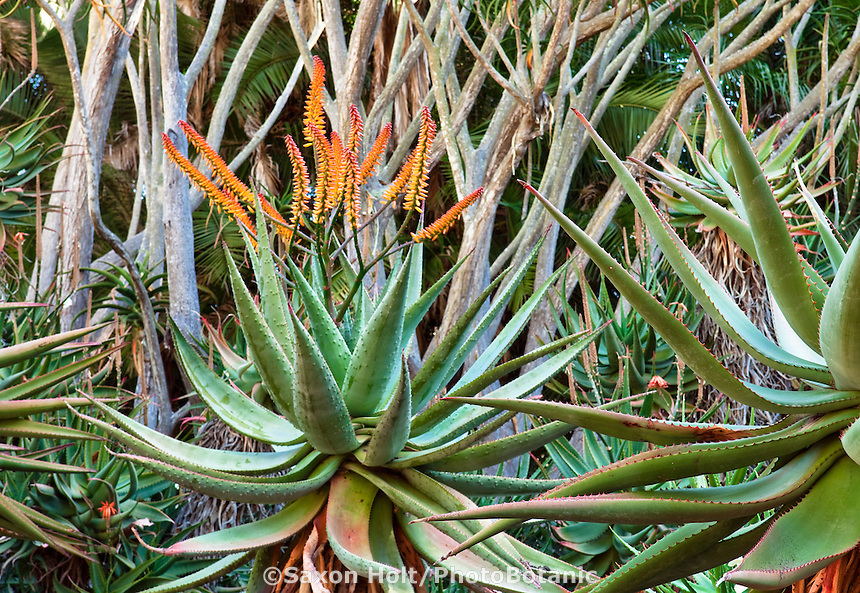 Orange flowering Flat-flowered Aloe (Aloe marlothii) succulent, in gardens at Lotusland