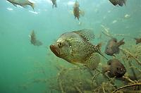 Black Crappie<br /> <br /> Engbretson Underwater Photo