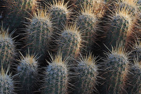 Nichol's hedgehog cactus (Echinocereus nicholii), South Mountain Park, Phoenix, Arizona, USA