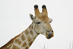 A giraffe licks his chops.  <br />