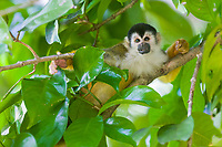 Common Squirrel Monkey, Tiskita, Southern Costa Rica, Central America