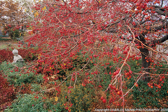 A Red Jade crab apple bends under the weight of  its bright red fall crop of apples at the Santa Fe Greenhouses demonstration garden in Santa Fe, New Mexico