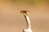 Hornet worker (Vespa crabro) at apex of fallen branch. Surrey, UK.