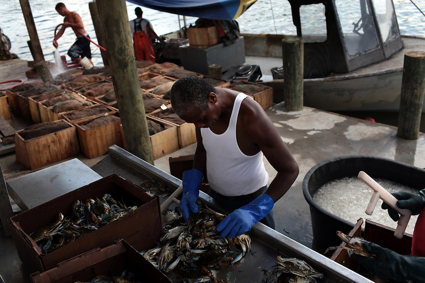 Anthony Major, center, and Ryan Hobson, far right, grade and pack blue crab while Jason Melerine, left, and deck hand Michael Labat wash down the boat on Delacroix Island in St Bernard Parish, LA on May 25th, 2010. Local fisherman from St Bernard Parish were desperately fishing the surrounding bayou to earn as much income as possible before authorities shut down the crab fishing while the BP oil spill inched closer.