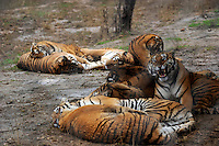 Tigers huddle in a group in an enclosure at the Xiongshen Tiger and Bear Park in Guilin China. The park has farmed 1500 tigers and sells an illegal tiger bone wine to tourists that visit the park.