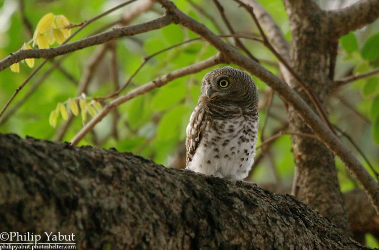 African barred owl (Glaucidium capense), Zambezi National Park (Imbabala Safari Lodge), Zimbabwe