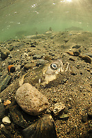Chum Salmon Carcass in stream beed<br />