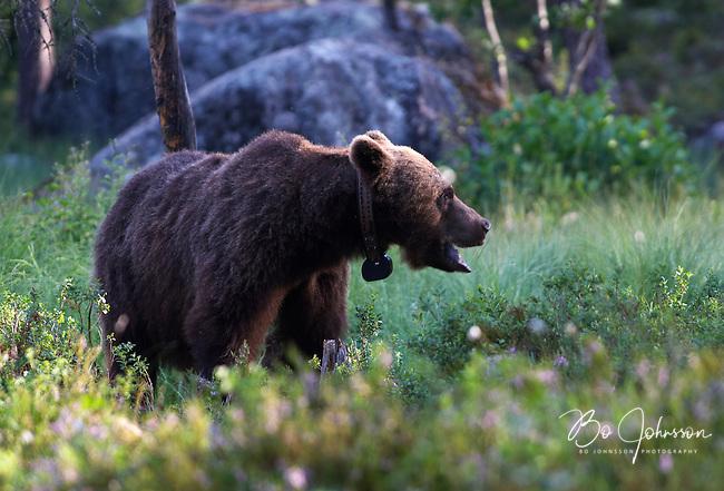 Wary male brown bear (ursus arctos) in the wild forests near Edsbyn in Halsingland, Sweden.<br /> July 2008.