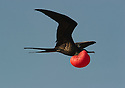 Magnificent Frigatebird (Fregata magnificens) in Galapagos