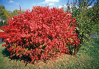 Euonymus alatus in autumn fall Burning Bush color