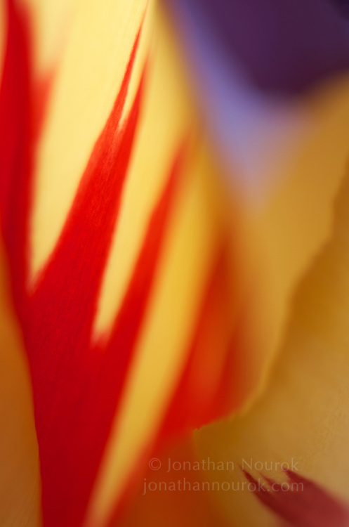close-up of a tulip flower