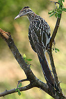 Texas Greater Roadrunner early one morning..It was cool to watch as it effortlessly lofted its way up to this tree branch in one hop, and single thrust of its large wings..