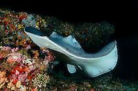 Taeniurops meyeni, Schwarzpunkt Fleckenstechrochen, Round ribbontail ray, Malediven, Indischer Ozean, Baa Atoll, Maldives, Indian Ocean