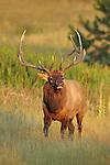 Rocky Mountain Bull Elk
