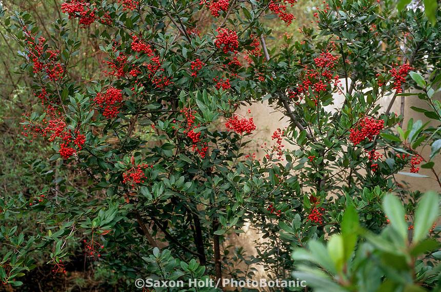 Heteromeles arbutifolia (Toyon, Christmas Berry)  evergreen native shrub, pruned against garden wall