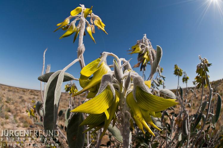 Australian desert wildflowers - Regal bird flower (Crotalaria cunninghamii)
