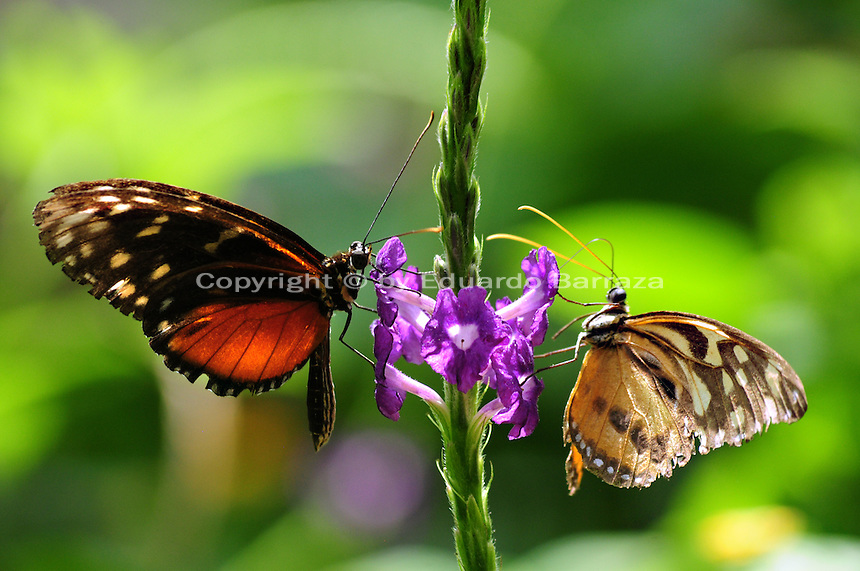 Scottsdale, Arizona. Two butterflies sucking up nectar from a plant at an Arizona sanctuary. The United States Fish and Wildlife Service is contributing $20 million to help save the disappearing Monarch butterflies. The insect may be on its way to the endangered species list. In Arizona a sanctuary takes care of thousands of butterflies. Photo by Eduardo Barraza © 2015