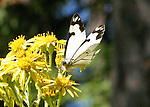 browsing white butterfly adds a new dimension to growing yellow wildflowers on a hot summer day on Henry Island in the San Juan Islands
