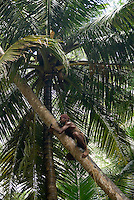 Andaman and Nicobar Islands, India, April 2008. A man climbs up a palm tree to harvest coconuts. Nature reclaims the remnants of the British empire on Ross Island, The administrative capital of the Andamans during British Rule. The remote Andaman Islands are an upcoming eco tourism and active adventure destination. Photo by Frits Meyst/Adventure4ever.com