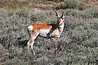 Pronghorn Antelope in the sagebrush