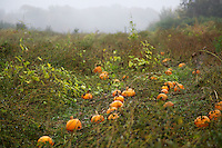Pumpkin Patch in New York