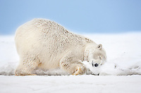 Female polar bear rubs her neck in the snow on an island in the Beaufort Sea on Alaska's arctic coast.