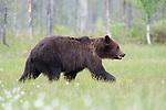 European Brown Bear, Ursus arctos arctos, Kuhmo, Finland, Lentiira, Vartius near Russian Border, foraging at edge of forest, marshland