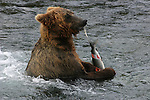 Alaska brown bear eating salmon at Katmai NP