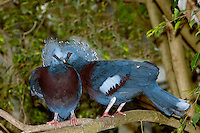 Victoria Crowned Pigeons (Goura victoria) adults on a branch. Captivity.