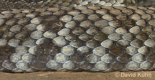0419-1008  Southern Pacific Rattlesnake (Black Diamond Rattlesnake, Pacific Rattler), Southwest California, Crotalus oreganus helleri (syn. Crotalus viridis helleri)  © David Kuhn/Dwight Kuhn Photography.