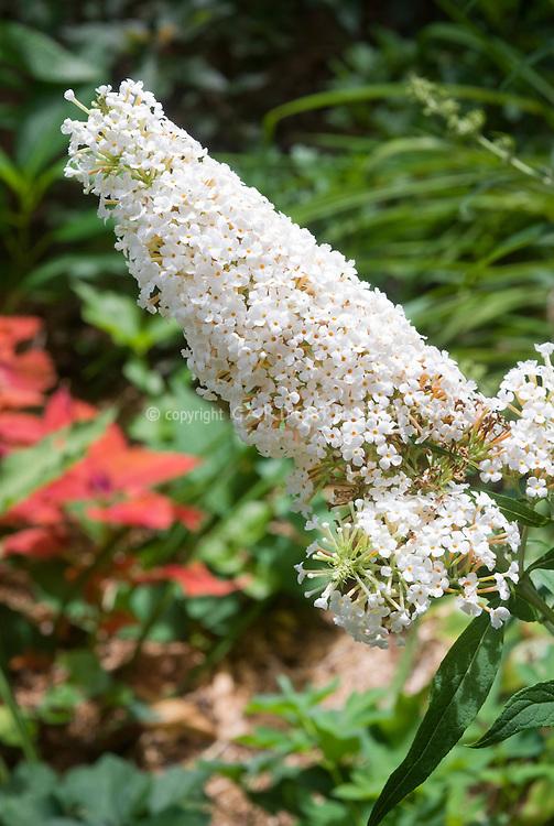 butterfly bush buddleja davidii 39 white profusion 39 aka buddleia in white bloom closeup plant. Black Bedroom Furniture Sets. Home Design Ideas