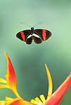 Postman Butterfly, Heliconius melpomene, in flight, Costa Rica, High Speed Photographic Technique, flying, tropical jungle.Costa Rica....