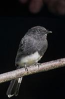 571003009 a wild black phoebe songbird sayornis nigricana perches on a tree limb in santa barbara county california