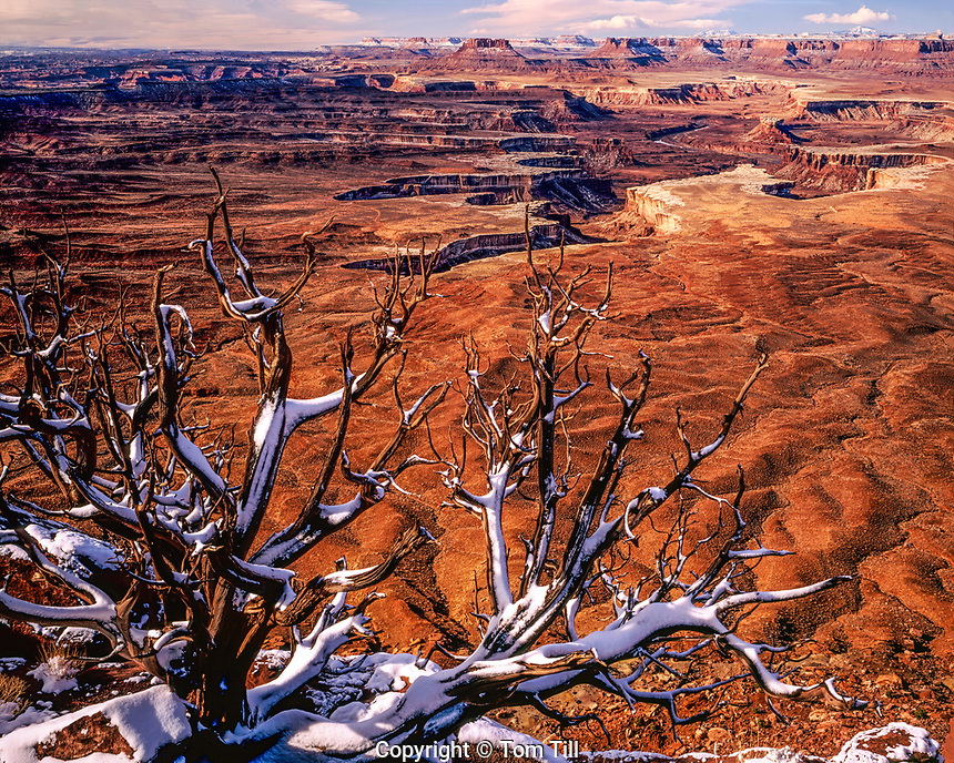 Snow at Green River Overlook, Canyonlands National Park, Utah, Island in the Sky District, Green River Canyons, Pinyon pine, pinus edulis, January