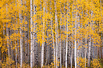 Autumn gold. Kebler Pass near Crested Butte, Colorado.
