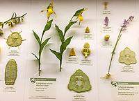 Yellow Lady's Slipper, Cypripedium calceolus display in Glass Flowers Exhibit Harvard Museum of Natural History