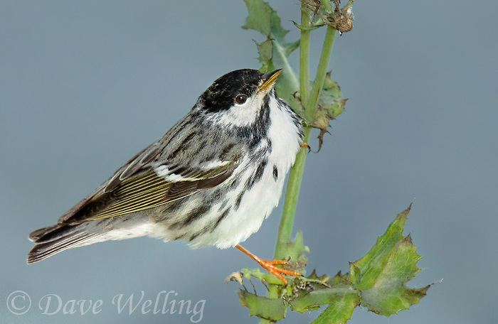 591510013 a wild male blackpoll warbler setophaga striata - was dendroica striata - in breeding plumage perches on a weed stalk on south padre island texas united states
