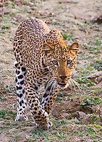 African Leopard, South Luangwa NP, Zambia