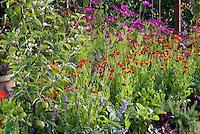 Calendula, cosmos, Apple Malus fruit tree, Salvia, strawberries Fragaria, red lettuce, mixture of fruit, flowers,herbs, vegetable garden