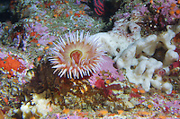 The fish-eating anemone (Urticina piscivora) at Cordell Bank off the coast of California.