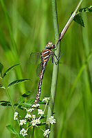 339600010 a wild teneral male shadow darner aeshna umbrosa perches on bogside water plants in central modoc county california