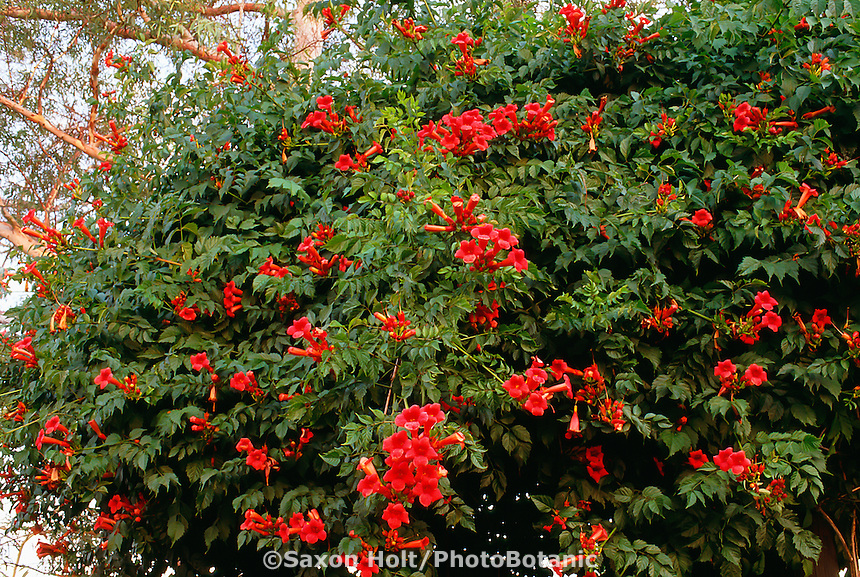 Campsis radicans (Trumpet Vine, Trumpet Creeper) red flowering vine in garden